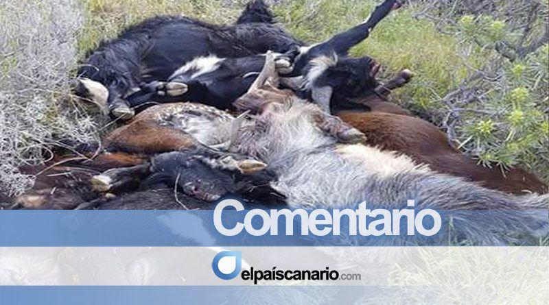 Estremecedora imagen de la matanza de cabras guaniles en La Gomera