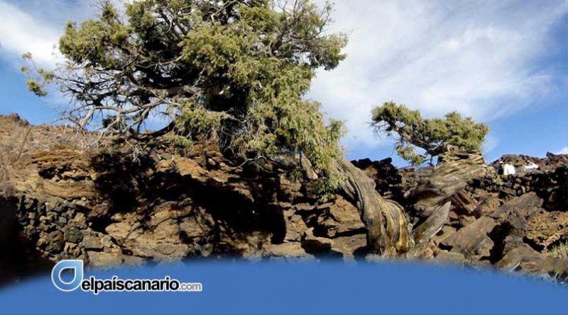 El Cabildo de Tenerife propone a los ayuntamientos una ordenanza para proteger los árboles monumentales