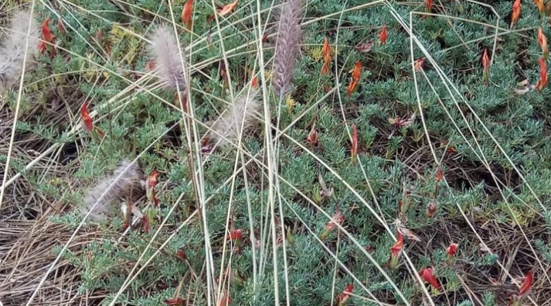 Medio Ambiente denuncia un nuevo ataque contra la flora endémica y en peligro de extinción de La Palma